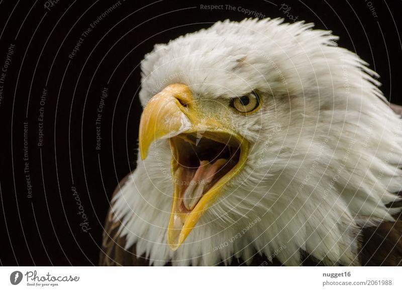 Weißkopfseeadler Umwelt Natur Tier Frühling Sommer Wildtier Vogel Tiergesicht Flügel Zoo 1 beobachten Aggression ästhetisch außergewöhnlich bedrohlich nah wild