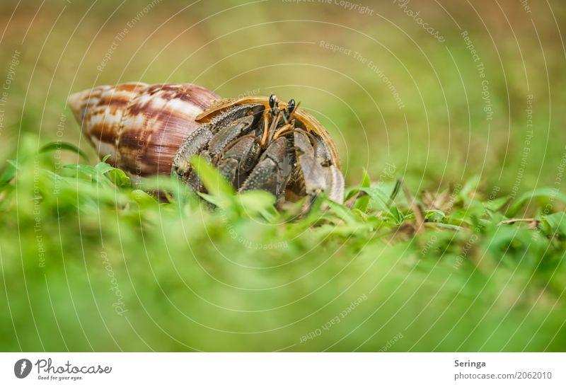 Hausbesetzer Natur Pflanze Tier Wasser Gras Küste Strand Wildtier Schnecke Muschel Tiergesicht 1 krabbeln Einsiedlerkrebs Krebstier Schneckenhaus Farbfoto