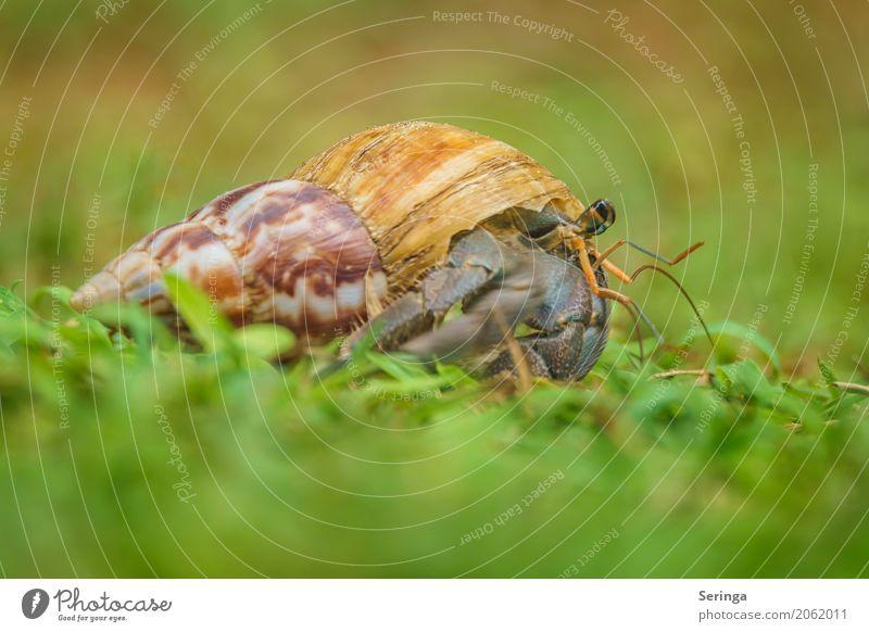 Einsiedlerkrebs mit Eigenheim Natur Pflanze Tier Gras Wildtier Muschel Tiergesicht 1 krabbeln Krebstier Farbfoto mehrfarbig Außenaufnahme Nahaufnahme