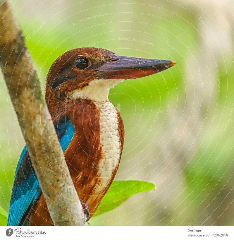 Braunliest, Blauer Eisvogel Umwelt Natur Pflanze Tier Baum Garten Park Wald Urwald Seeufer Flussufer Bach Wildtier Vogel Tiergesicht 1 fliegen Eisvögel Schnabel