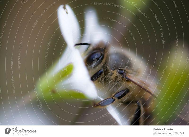 Bee careful! Natur schön weiß Blume Pflanze Sommer Tier Blüte Beine Umwelt Insekt natürlich Biene Sammlung Fühler Makroaufnahme