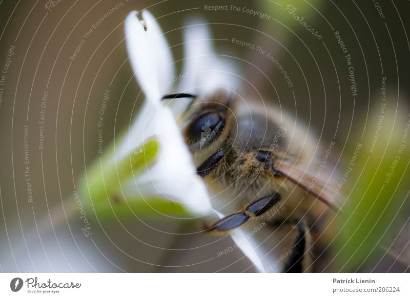 Bee careful! Umwelt Natur Tier Sommer Pflanze Blume Blüte Wildpflanze Biene arbeitend fleißig Sammlung Fühler weiß Insekt Facettenauge Nektar Honig Honigbiene