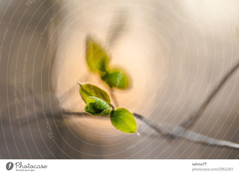 Entfaltung Natur Pflanze Frühling Sträucher Blatt Wildpflanze Zweig Wald Wachstum positiv braun grau grün Beginn ästhetisch Hoffnung Leben Stimmung