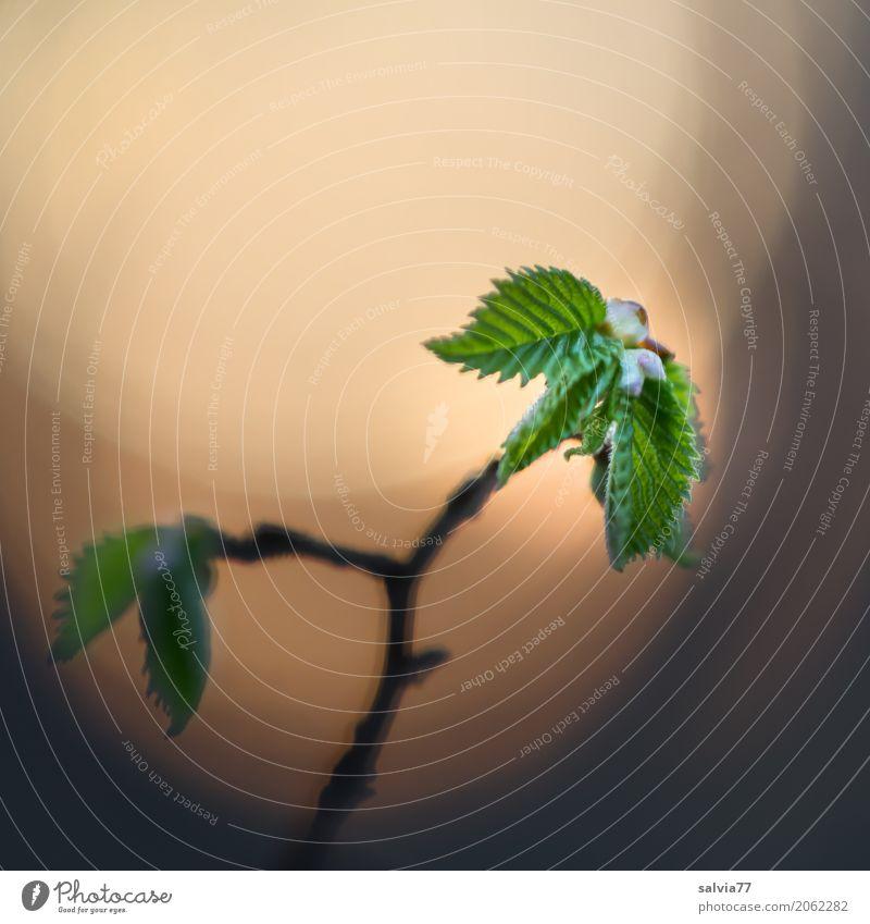 Licht ist Leben Umwelt Natur Pflanze Sonnenlicht Frühling Sträucher Blatt Zweige u. Äste Wald Wachstum neu grau grün Beginn ästhetisch Hoffnung