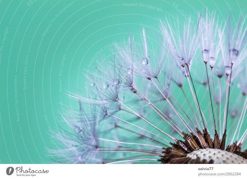 Taufänger Natur Pflanze Landschaft Blume Blüte Frühling Garten grau Ordnung Beginn Wassertropfen Wandel & Veränderung türkis Samen Löwenzahn Leichtigkeit