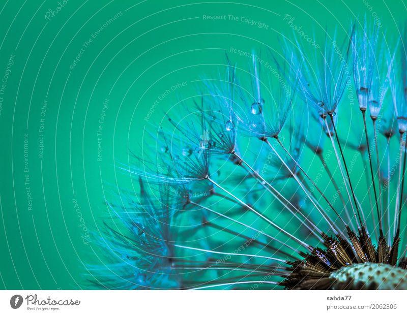 Pusteblume Natur Pflanze Frühling Blüte Löwenzahn Samen ästhetisch klein weich grün Design Leichtigkeit Tau Wassertropfen Fortpflanzung Farbfoto Außenaufnahme