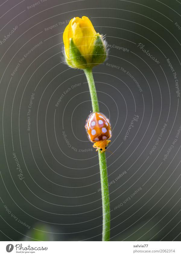 Feierabend Natur Pflanze Tier Frühling Blume Blüte Wildpflanze Hahnenfuß Garten Käfer Marienkäfer Insekt 1 krabbeln gelb grau grün orange Design Duft