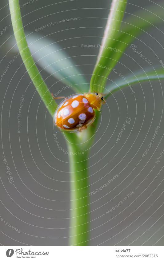 Sechzehnfleck Natur Pflanze Tier Frühling Sommer Blatt Käfer 1 krabbeln klein positiv grau grün orange einzigartig Glück Mittelpunkt Perspektive Wege & Pfade