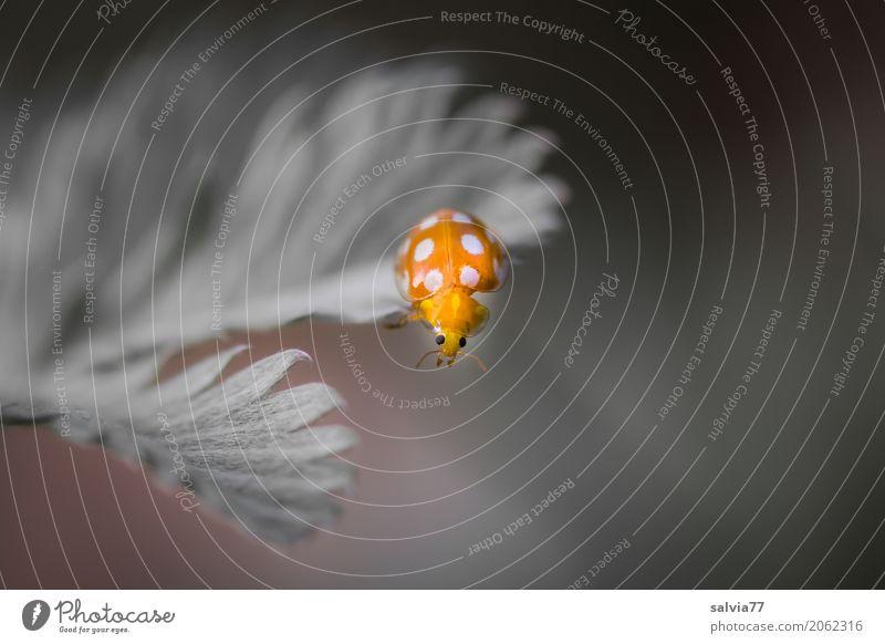 oops Natur Pflanze Blatt Wildpflanze Käfer Tiergesicht Insekt Marienkäfer 1 krabbeln ästhetisch außergewöhnlich klein niedlich oben schön weich grau orange