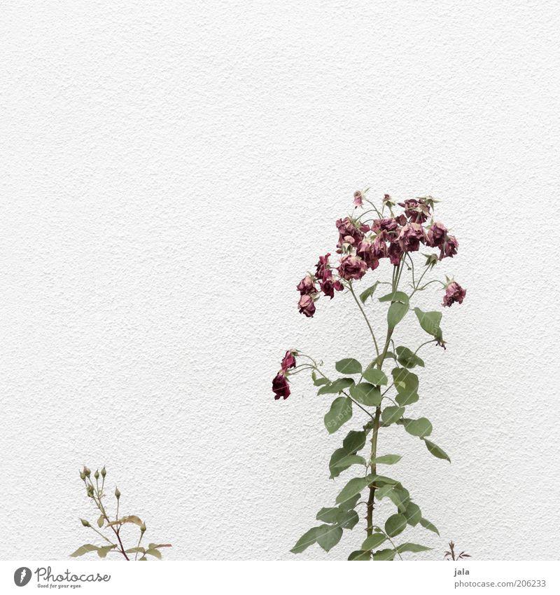 verblüht Natur weiß Blume grün Pflanze Blatt klein rosa groß Fassade Rose Wachstum rote Rose