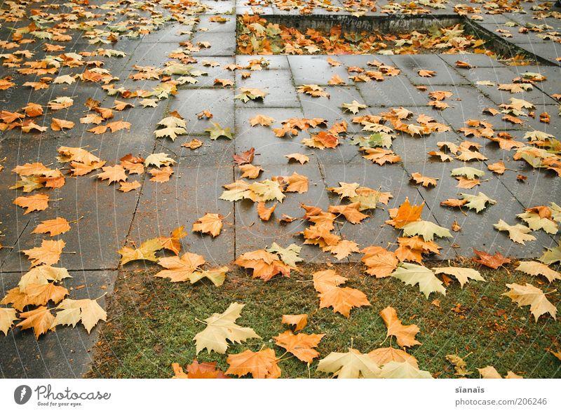 ahornsirup Natur Blatt Leben kalt Herbst Traurigkeit Regen Wetter Umwelt nass Beton Erde trist Wandel & Veränderung Schweiz Vergänglichkeit