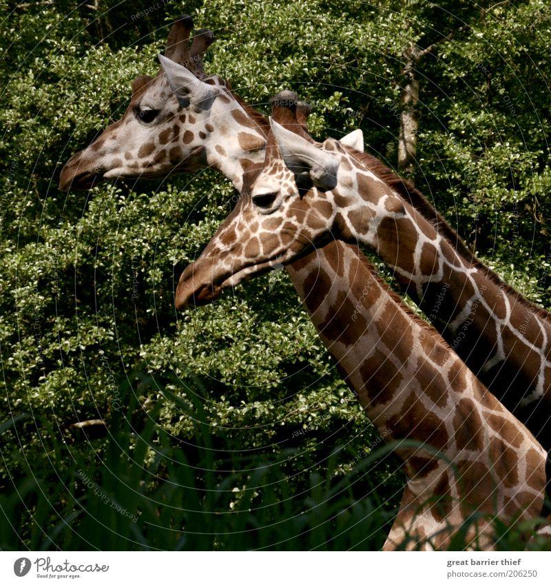 Der Rest vom Ganzen grün Sommer ruhig Tier Wald braun Tierpaar stehen Tiergesicht Neugier beobachten Fell Zoo Hals Giraffe