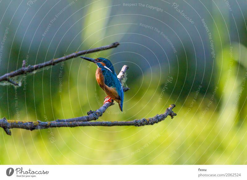 Eisvogel Umwelt Natur Baum Gras Blatt Tier Wildtier Vogel Eisvögel 1 entdecken sitzen blau mehrfarbig gold grün orange Verlässlichkeit gewissenhaft geduldig