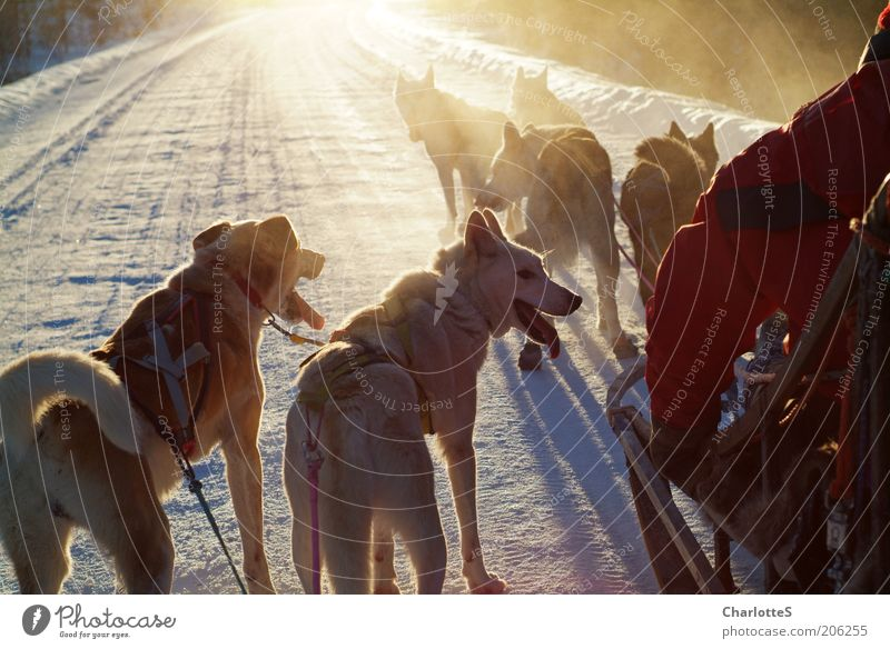 Abenteuer mit Schlittenhunden Jagd Schlittenhundrennen Freiheit Expedition Winter Schnee Wintersport Natur Sonnenlicht Nebel Eis Frost Norwegen Hundeschlitten