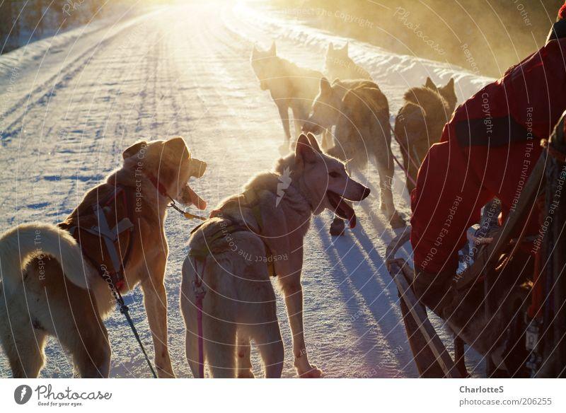 Abenteuer mit Schlittenhunden Natur Sonne Ferien & Urlaub & Reisen Winter Schnee Freiheit Holz Hund Eis Stimmung Nebel gold rennen Abenteuer Frost entdecken