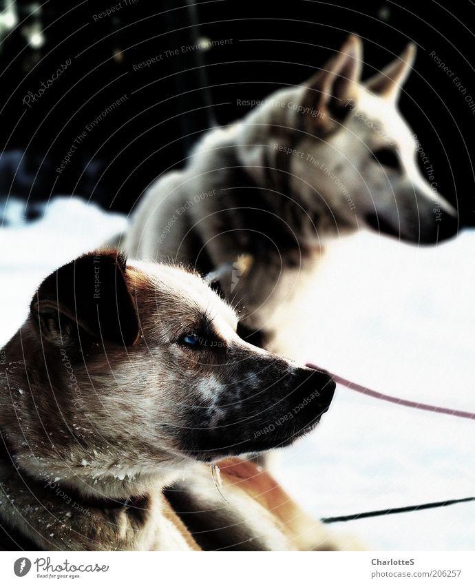 Aufmerksamkeit Schlittenhund Schlittenhundrennen Winter Schnee Nebel Eis Frost Norwegen Hund 2 Tier Tierpaar Blick sitzen muskulös Neugier Stimmung