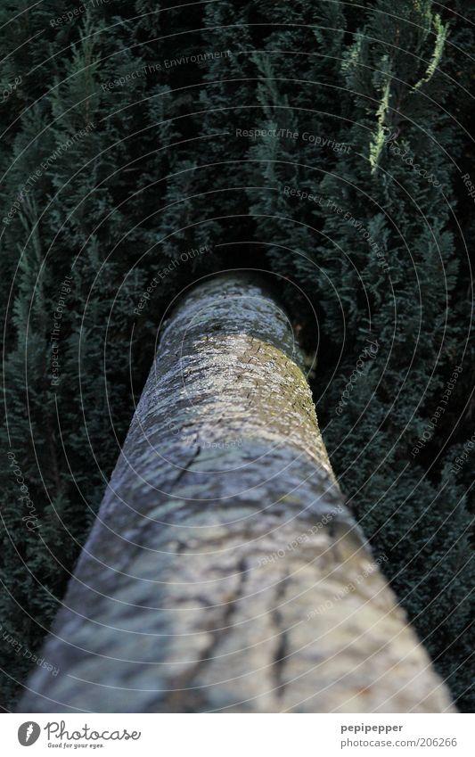 mitten durch Natur Baum grün Pflanze Sommer grau braun Perspektive Wachstum Ast Tanne Baumstamm Grünpflanze