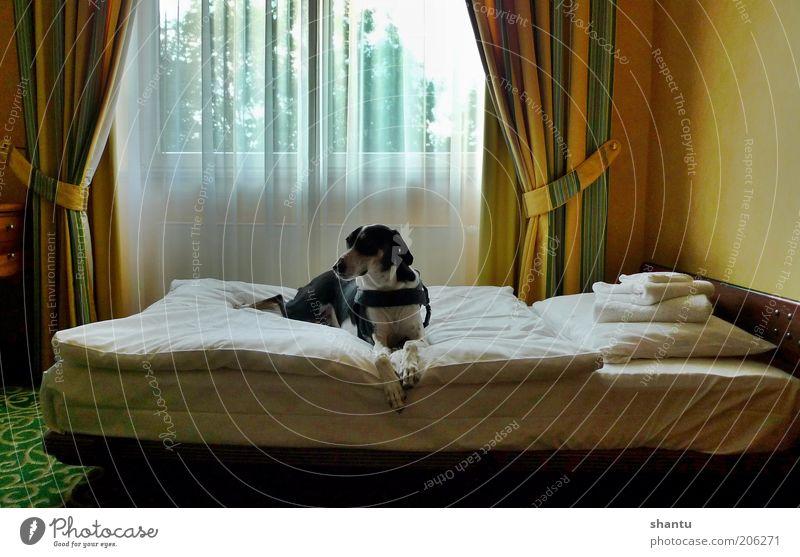 Hund im Bett Haustier 1 Tier ästhetisch Sinnesorgane Stil Farbfoto mehrfarbig Innenaufnahme Menschenleer Textfreiraum oben Morgen Schatten Zentralperspektive