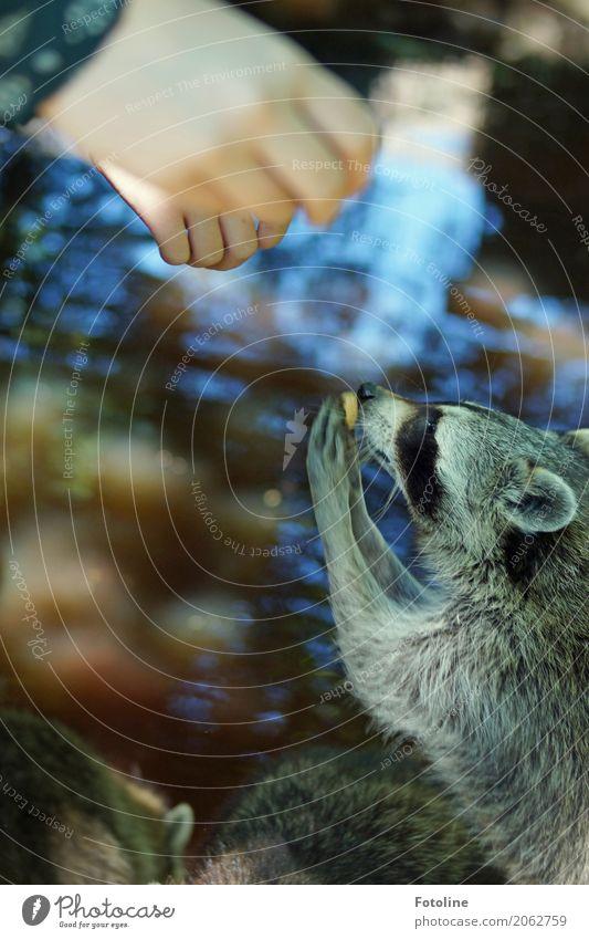 Fütterungszeit Mensch Kind Mädchen Kindheit Hand Finger Umwelt Natur Tier Urelemente Wasser Sommer Teich Wildtier Fell Pfote Zoo nah natürlich weich Waschbär