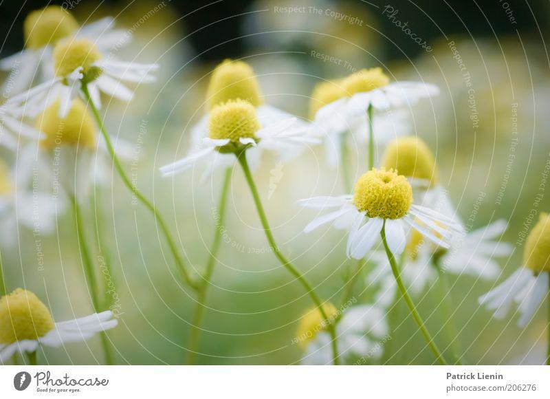 Kamillenbad Natur schön weiß Blume grün Pflanze Sommer gelb Blüte Gesundheit Kräuter & Gewürze Blühend Duft Geruch Makroaufnahme Kamille