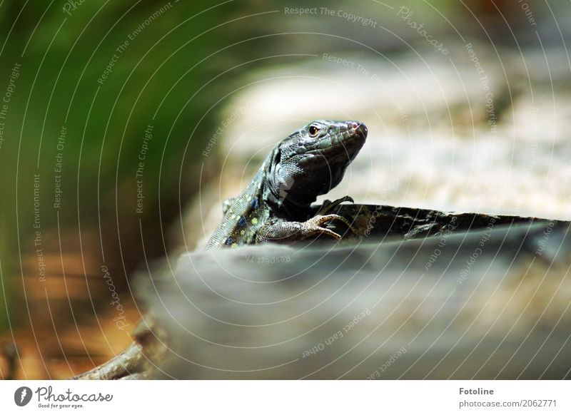 Dino Umwelt Natur Tier Urelemente Erde Sommer Tiergesicht Krallen 1 nah natürlich wild grau grün Echte Eidechsen Echsen Reptil beobachten Farbfoto mehrfarbig