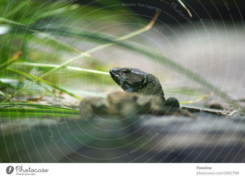 Kommt jemand von links? Umwelt Natur Pflanze Tier Urelemente Erde Sommer Schönes Wetter Gras Wiese Wildtier 1 blau grau grün Echte Eidechsen Reptil Echsen