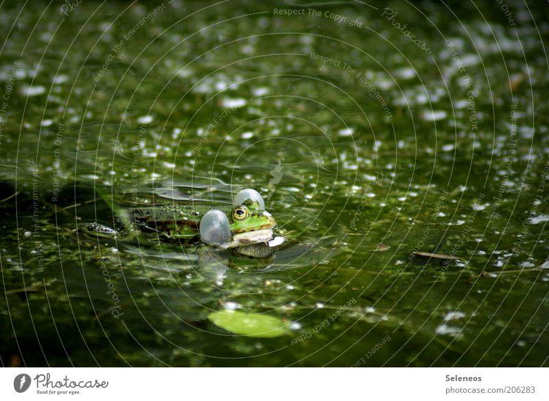 aufgeblasener Typ Sommer Umwelt Natur Pflanze Tier Wasser Moor Sumpf Teich Tiergesicht Frosch 1 nass schleimig grün Tierliebe atmen Quaken Tierlaute Farbfoto