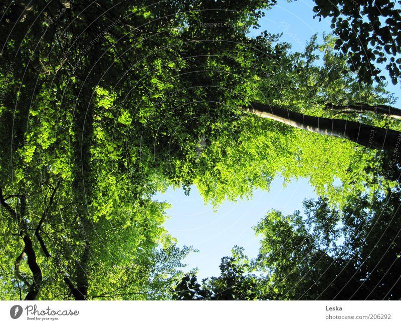 Majestic Trees Natur Himmel Baum grün blau Pflanze Sommer ruhig Blatt Wald oben Luft Stimmung Kraft Wachstum Schutz