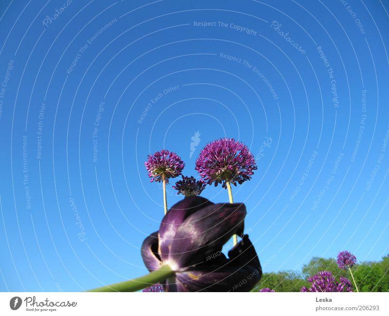 lila Büten im blauen Himmel Natur Pflanze Wolkenloser Himmel Sommer Schönes Wetter Blume Tulpe Blüte ästhetisch Duft authentisch violett einzigartig elegant