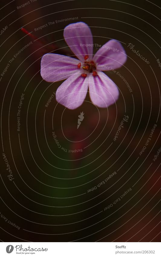 aus dem Schatten heraus Storchschnabel Blume violett Wildpflanze natürlich Duft dunkel Kontrast Sommer Vor dunklem Hintergrund ästhetisch herausstechend lila