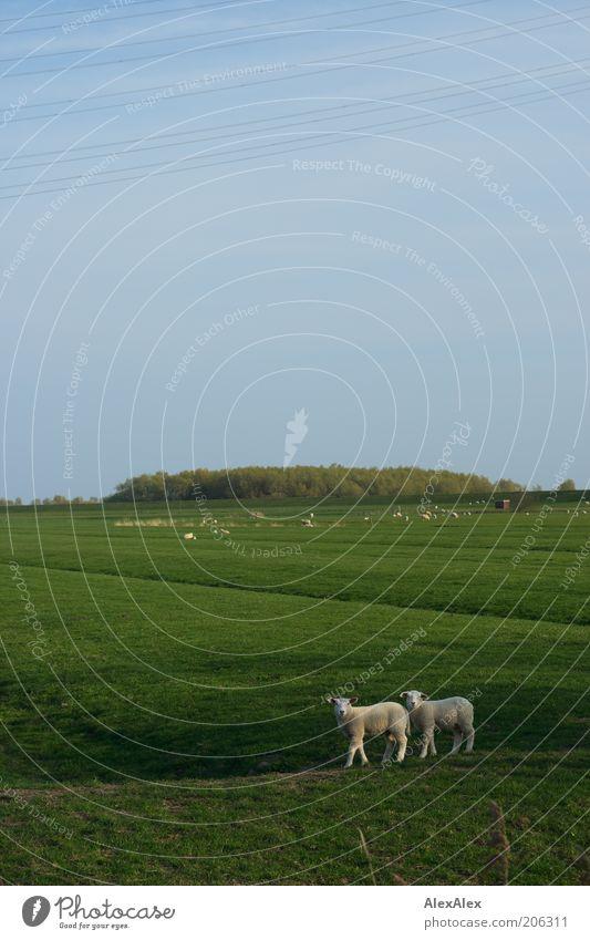 Kumpels am Deich Pflanze grün weiß Tier Tierjunges Wiese Gras Feld Tierpaar authentisch Ausflug Neugier Team Zusammenhalt Bioprodukte Schaf