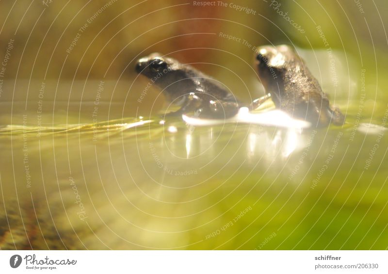 Annäherungsversuch Wasser Tier Zusammensein sitzen glänzend Tierpaar Neugier beobachten Frosch Momentaufnahme Interesse Aquarium hocken Wasseroberfläche Zuneigung Frühlingsgefühle
