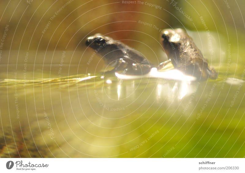 Annäherungsversuch Wasser Tier Zusammensein sitzen glänzend Tierpaar Neugier beobachten Frosch Momentaufnahme Interesse Aquarium hocken Wasseroberfläche