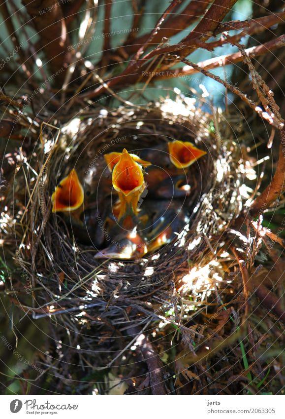 kindercohr III Frühling Baum Garten Park Wildtier Vogel 4 Tier Tiergruppe Tierjunges Essen schreien natürlich Appetit & Hunger Durst Natur Amsel Nest Küken