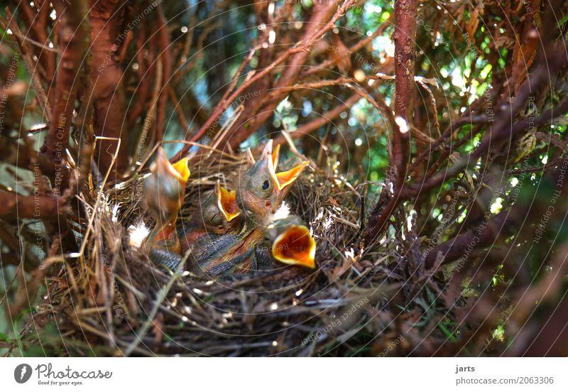 hunger Natur Frühling Baum Garten Park Tier Wildtier Vogel 4 Tierjunges Essen schreien natürlich Appetit & Hunger Nest Amsel Farbfoto Nahaufnahme Menschenleer