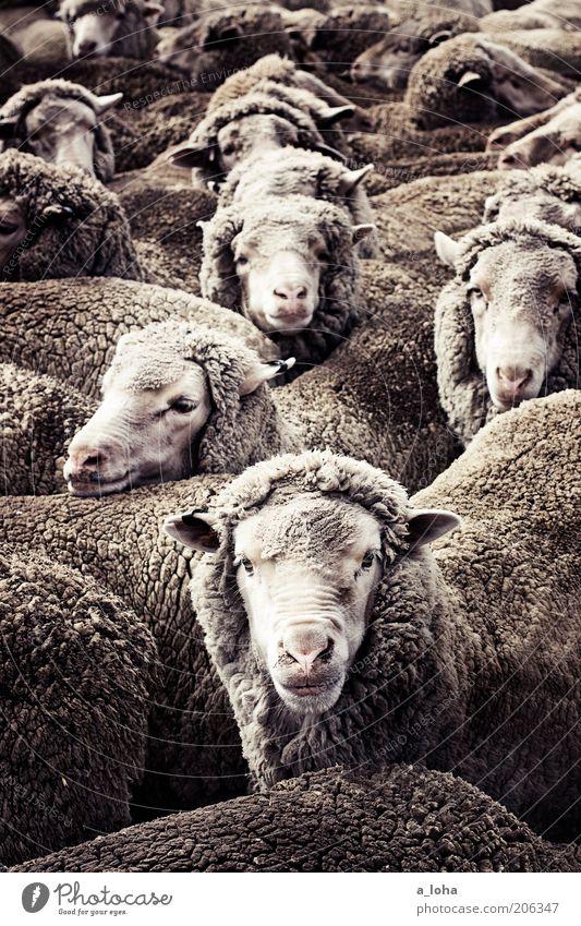 counting sheep Kopf grau Wärme Zusammensein warten Tiergruppe stehen Fell Neugier Lebewesen Stress viele bizarr Schaf Markt chaotisch