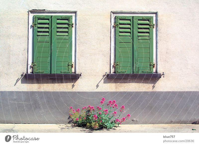 Zwei Fenster Fensterladen grün geschlossen Haus Wand Fassade grau Pflanze rot Architektur