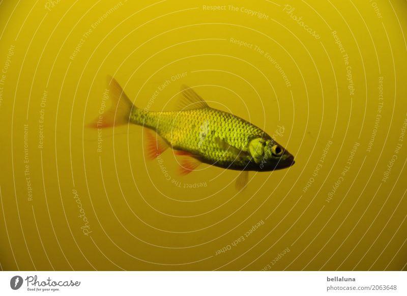 Fünf von sechs Umwelt Natur Wasser Teich See Tier Wildtier Fisch Tiergesicht Schuppen Aquarium 1 frei kalt maritim nass natürlich dünn schön braun gelb grau