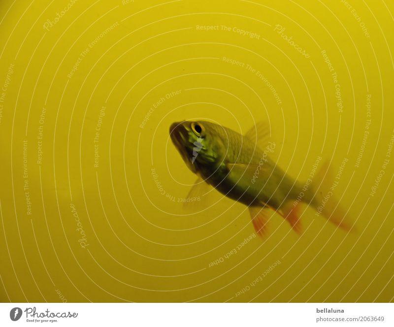 Vier von sechs Umwelt Natur Wasser Teich See Tier Wildtier Fisch Tiergesicht Schuppen Aquarium 1 frei nah nass natürlich dünn Geschwindigkeit braun gelb grau