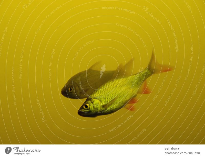 Zwei von sechs Natur Wasser Teich See Tier Wildtier Fisch Tiergesicht Schuppen Aquarium 2 frei nass natürlich dünn Geschwindigkeit schön Schwimmen & Baden