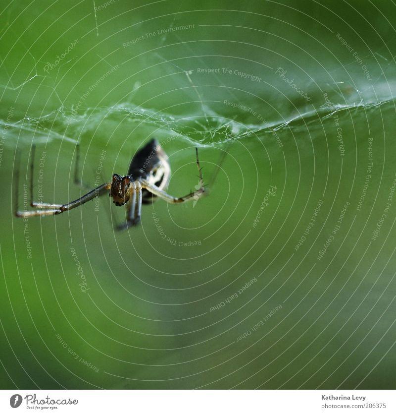 8 Beine Natur Tier Wildtier Spinne 1 bauen Ekel hässlich braun grün fleißig Ausdauer Angst Netz Spinnennetz Farbfoto Außenaufnahme Makroaufnahme Menschenleer