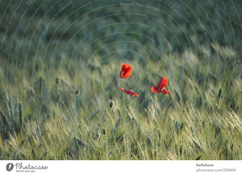 rote Tupfen Natur schön Pflanze rot Blume Sommer Umwelt Blüte Wärme Wetter Feld Wind Getreide Schönes Wetter Mohn Stengel