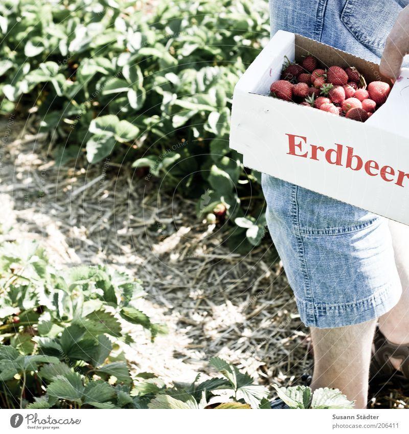 spanische Erdbeeren Mann Pflanze Sommer Ernährung Beine Frucht frisch Jeanshose reif Ernte Sammlung Bioprodukte tragen Korb Lebensmittel