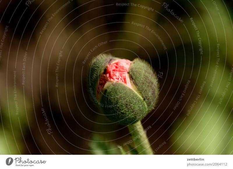 Papaver rhoeas Blume Blühend Blüte Erholung Ferien & Urlaub & Reisen Garten Schrebergarten Kleingartenkolonie Blütenknospen Blattknospe Menschenleer Natur