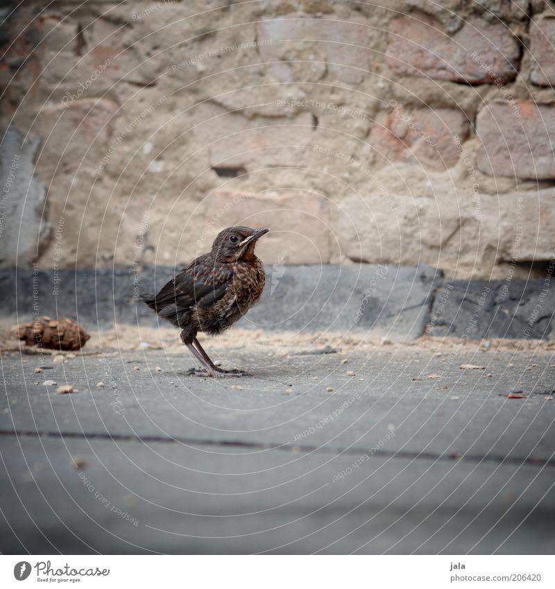 wenn die kinder flügge werden Tier Stein Vogel Wildtier einzeln Zeit Tierjunges Amsel