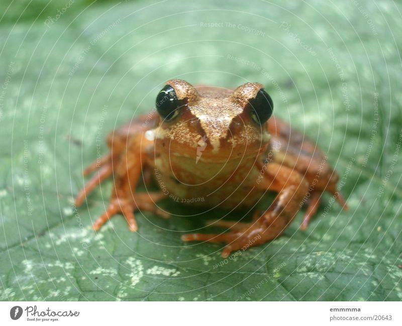 frogger Blatt Neugier Frosch Biotop Feuchtgebiete Grasfrosch