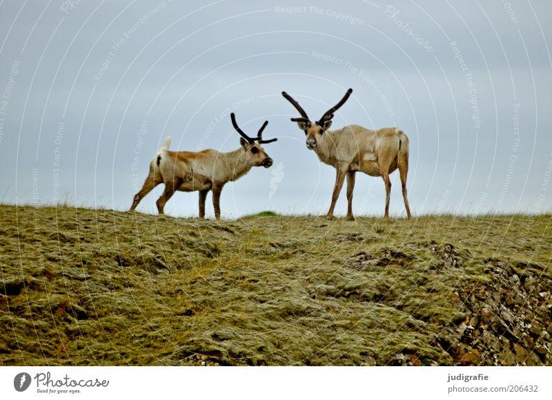 Island Umwelt Natur Tier Gras Hügel Wildtier Rentier 2 Tierpaar beobachten Blick stehen natürlich Farbfoto Außenaufnahme Menschenleer Textfreiraum oben
