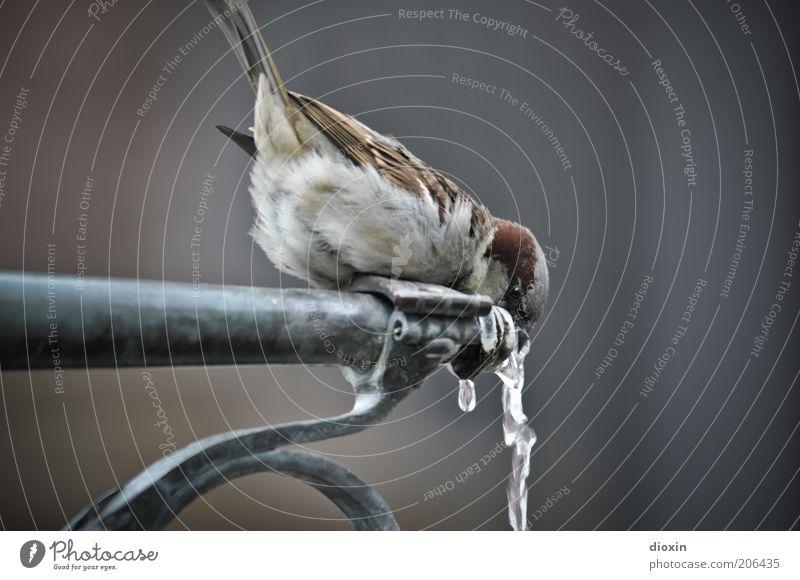 Freiburger Münster-Spatz (FR 6/10) Getränk trinken Erfrischungsgetränk Wasser Wassertropfen Brunnen Tier Wildtier Vogel Flügel hocken sitzen kalt kuschlig klein
