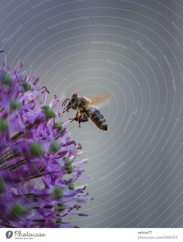 Zierlauchblüte Natur Frühling Pflanze Blume Blüte Garten Nutztier Biene Flügel Honigbiene Insekt fliegen Duft grau violett Frühlingsgefühle fleißig bestäuben