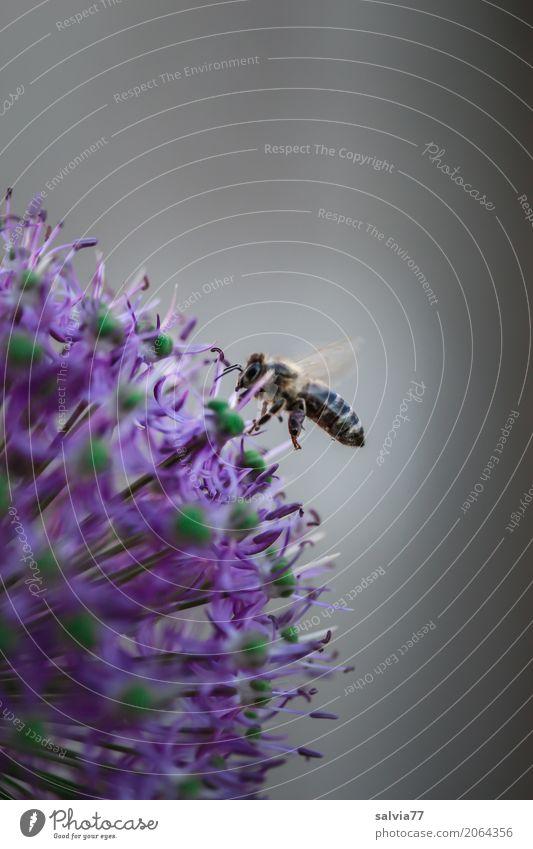 immer fleißig Natur Frühling Blume Blüte Zierlauch Garten Nutztier Biene Flügel Insekt Honigbiene 1 Tier Duft fliegen positiv grau grün violett Leistung